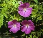 geranium-sanguineum