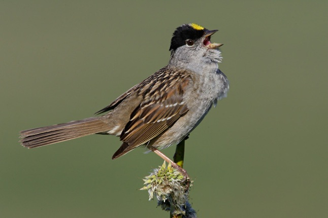 golden-crowned-sparrow