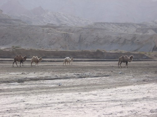 The camel herd at the pit stop.